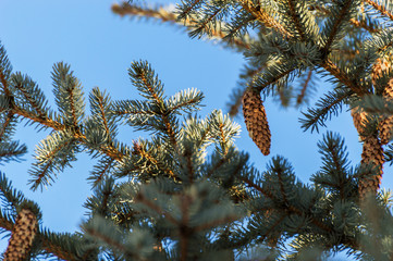 Spruce branches with cones on a background of blue sky.