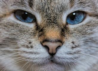 Кошка с голубыми глазами крупным планом
