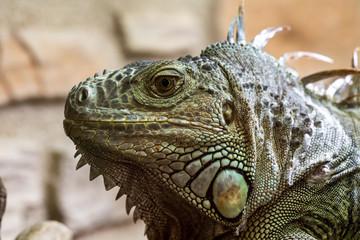 Closeup of an iguana reptil face 5