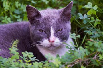 Gatto grigio e bianco, sguardo e occhi fissi