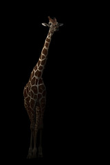 giraffe hiding in the dark