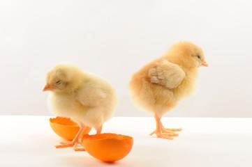 Cute litle yellow chicks with broken orange egss