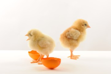 Cute litle yellow chicks with broken orange egss
