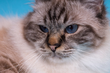 serious cat in studio close-up, luxury cat, studio photo, blue background, isolated.