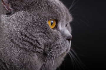 British cat on a black background in the studio isolated, orange eyes