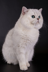 White British cat on a black background in the studio