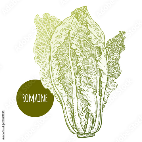 Lettuce romaine plant isolated on white background vector illustratio - Decoration romaine antique ...