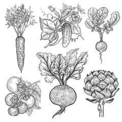 Vegetables set. Carrot, cucumber, radish, tomato, beetroot, arti