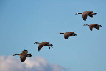 Canada geese flying together, seen in the wild near the San Francisco Bay