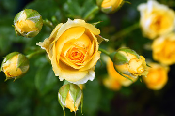 close up of beautiful rose for background