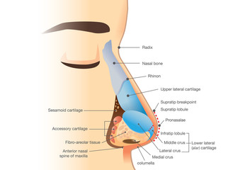 Anatomy of human nose. Illustration about description of components in nose for study and medical.