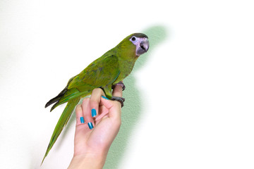 Cute green macaw bird on finger female.