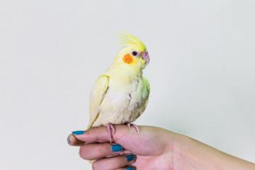 Cute yellow cockatiel bird on finger female.