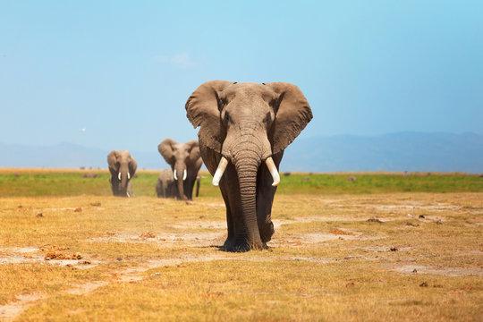 Elephant portrait in Amboseli National Park, Kenya. Horizontal s