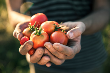 Farmer holding fresh tomatoes at sunset. Food, vegetables, agriculture