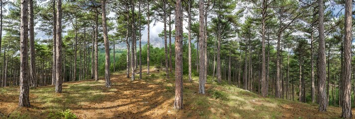 panorama of pine forest on the hillside