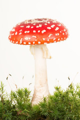 Total view of a red and white fly agaric toadstool with green moss on a white background
