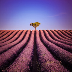 Papiers peints Grenat Isolated tree in a lavender field in summer: landscape at Valensole in France - Provence