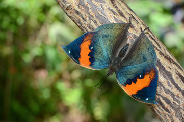 Kallima inachus butterfly with opened wings, also known as orange oakleaf
