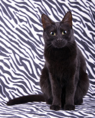 Beautiful black cat sitting against a zebra striped background, looking attentively at the viewer