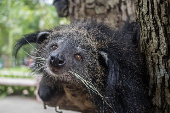 Binturong (Arctictis binturong) a.k.a. Bearcat rest on tree.