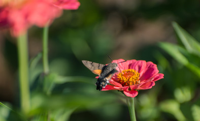 Hummingbird Hawk-moth hovering over flower.