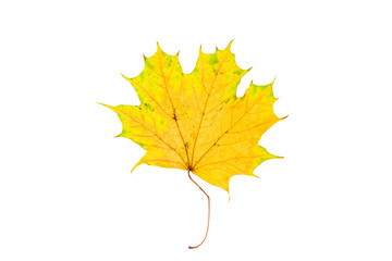 Beautiful, soft, colorful and fresh autumn maple leaf on the white background.