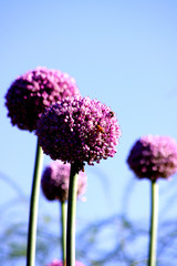 allium flowers with a view