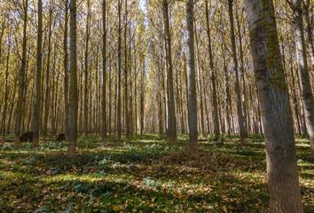Bosque de Chopos Canadienses en otoño. Populus canadensis.