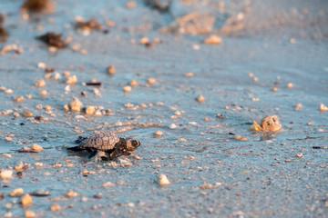 newborn baby green golfina turtle approaching sea