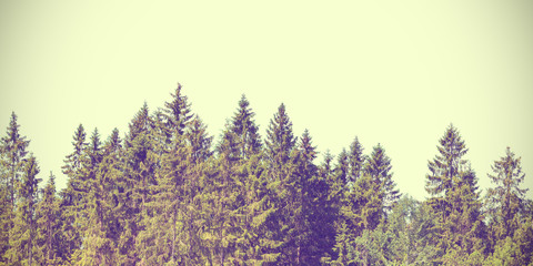 Retro styled image of Christmas pine trees