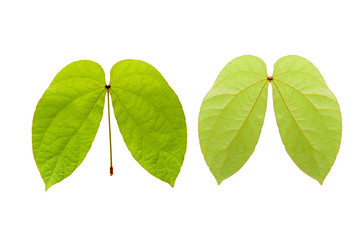 Green leaf isolate on white background ,Front and back leaf