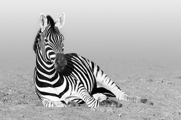 Wall Mural - Zebra resting after having a drink in Kruger National Park, South Africa