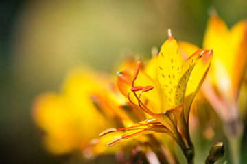 Yellow Peruvian Lily (Alstroemeria aurea) flower. Closeup with shallow depth of field. Copy space.