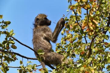 Tchakma Pavian im Kruger Nat. Park