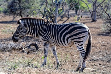 Zebra im Kruger Nat. Park, Südafrika