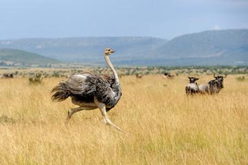 Fotobehang Struisvogel African ostrich (Struthio camelus)