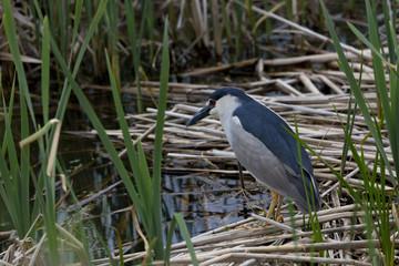 Black crowned Night Heron in Utah marsh