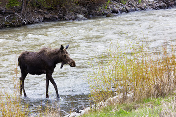 Young Moose in River Outside East Gate of Yellowstone