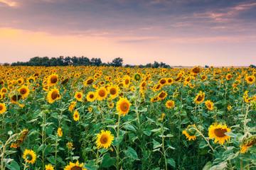 Wall Mural - view of sunflower field