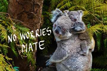 Australian koala bear native animal with baby and No Worries mate text