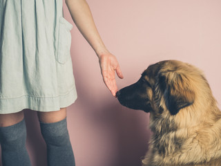 Big dog smelling hand of woman
