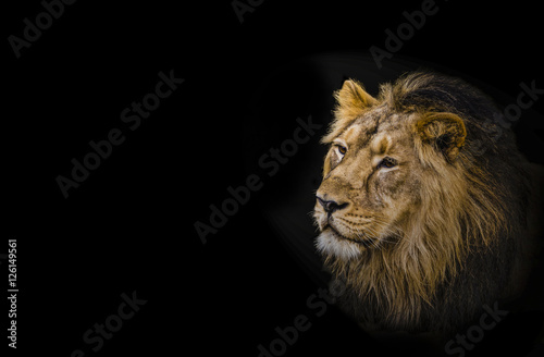 Lion, head shot of an adult Lion. King of all animals.