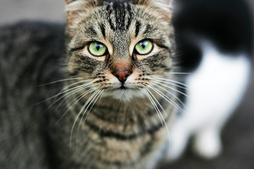 Striped cat looks with green eyes looking into the camera