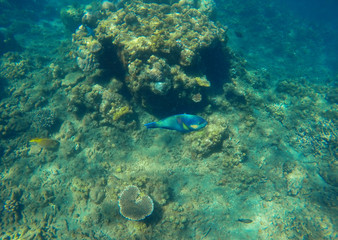 Underwater landscape with blue parrot fish in coral reef. Growing corals on tropical sea bottom