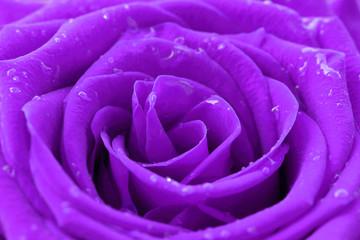 close-up image o purple rose