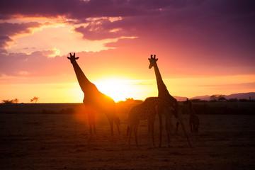 Giraffes in the sunrise light on Masai Mara National Park Kenia