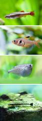 Set of freshwater aquarium fishes. White Cloud Mountain minnow fish, Rosy Tetra, Flying heavily-keeled body Gasteropelecus sternicla, Otocinclus macrospilus vitattus. macro view