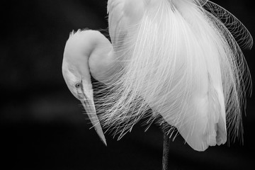 Egret in Black and White