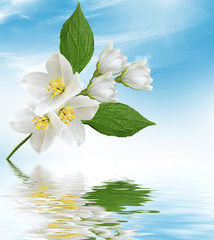 White jasmine. The branch delicate spring flowers